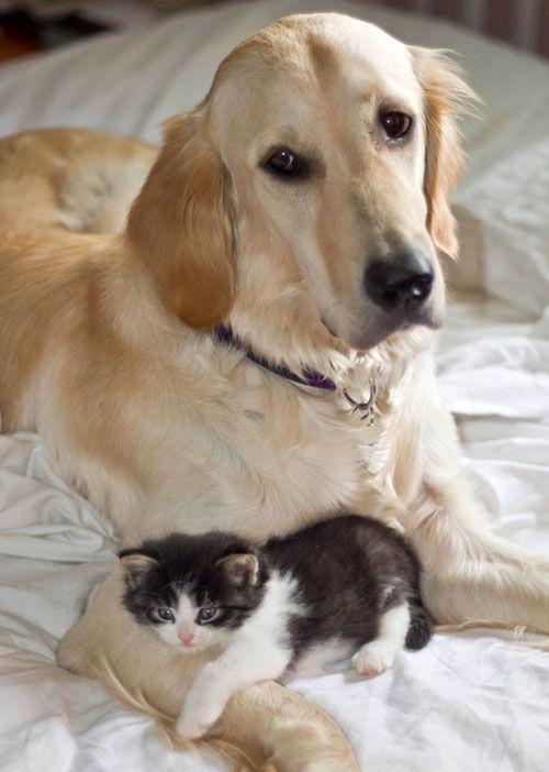 gatito lindo que abraza con el perro perdiguero de oro: