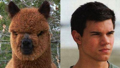 12 Celebrities and Their Animal Lookalikes-Some pictures of celebrities in their animal form. 5. Taylor Lautner and Alpaca