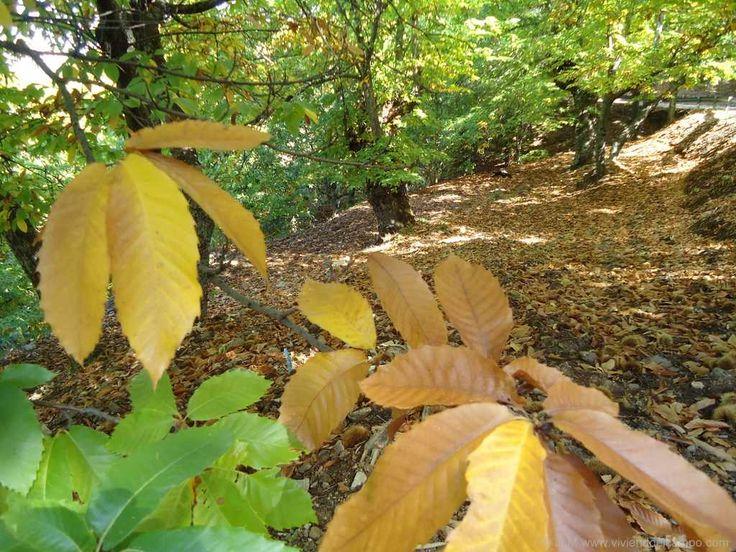 castañar en el Valle del genal (Málaga)/ chestnut trees at the Genal Valley (Málaga) http://www.viviendoelcampo.com/casta%C3%B1os-del-valle-del-genal.html