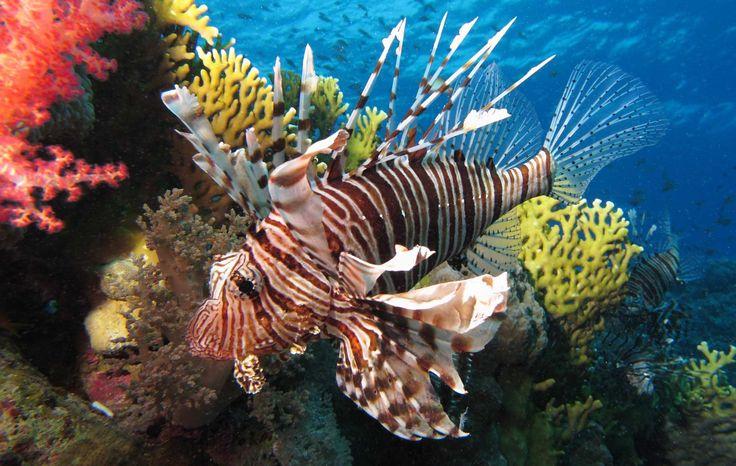 Το δηλητηριώδες ψάρι λεοντόψαρο εμφανίστηκε στα νερά της Κρήτης