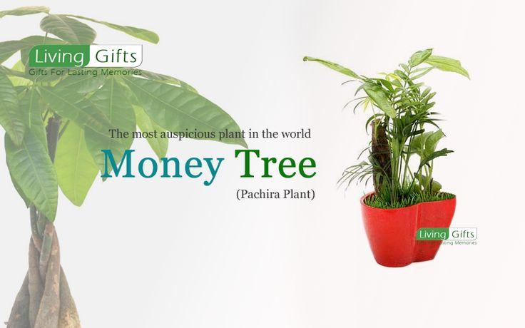 die besten 25 money tree bonsai ideen auf pinterest. Black Bedroom Furniture Sets. Home Design Ideas