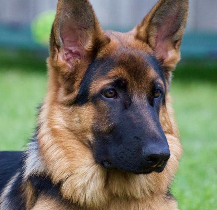 Image result for german shepherd dogs