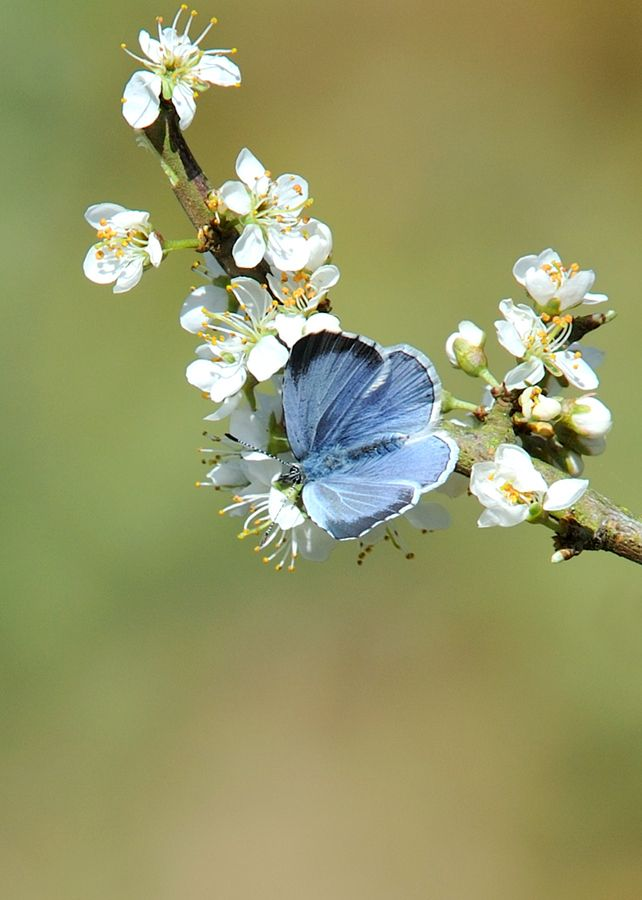 Holly Blue ( Celastrina argiolus )