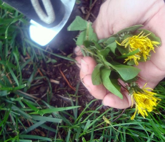 How To Dig Dandelions (by the Entire Root, Every Time)