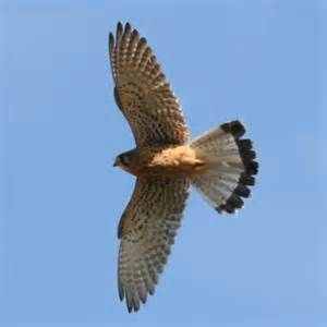 Image result for soaring kestrel with bell Pinterest