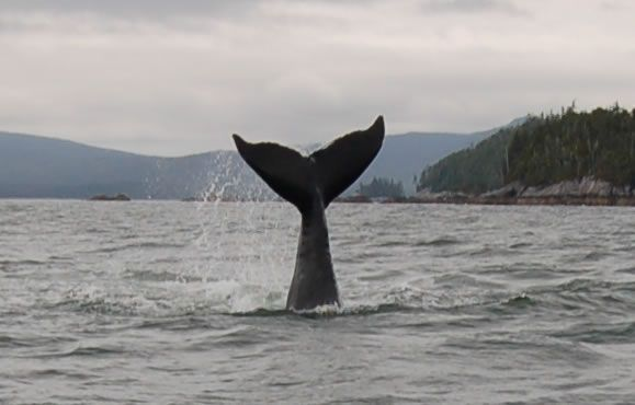 A whale sighted off the Queen Charlotte Islands, Northern BC