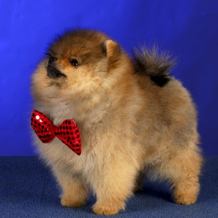 Best Pomerainian Images On Pinterest Dogs Jewel And Link - Someone should have told this dog owner that pomeranians melt in water