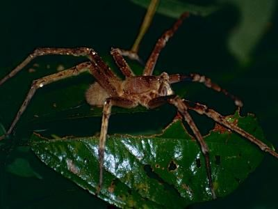 ¿Cuál es la araña más venenosa?