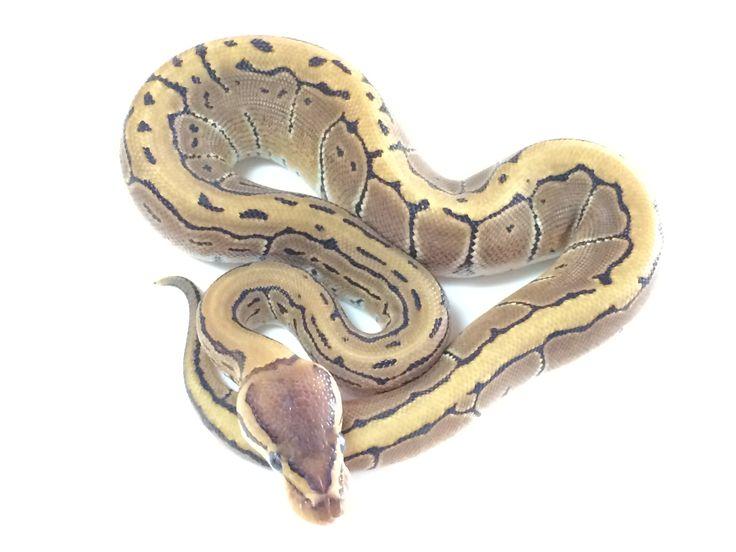 Pinstripe Ball Python For Sale - xyzReptiles