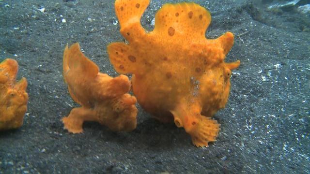 La zona del océano más extraña del mundo. El estrecho de Lembeh, en la isla del mismo nombre en Indonesia, es considerada por muchos buceadores como la zona del océano más extraña del mundo. Aquí se pueden atisbar las más diversas criaturas, muchas de las cuales se muestran en este increíble vídeo. Desde el curioso gusano Bobbit hasta los peces sapo. El vídeo merece realmente la pena. Vía: http://www.fogonazos.es/2013/05/la-milla-cuadrada-mas-extrana-del-oceano.html