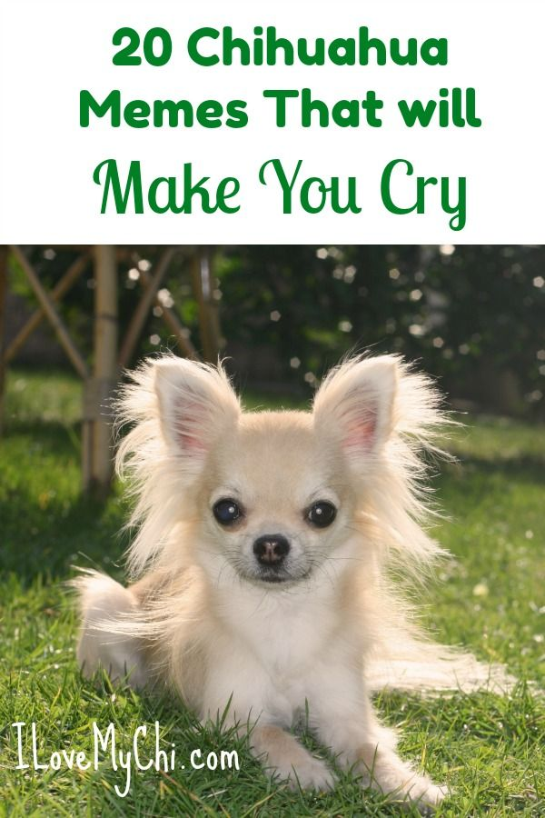 20 Chihuahua Memes That Will Make You Cry Chihuahua Chihuahua