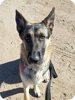 Denver, CO - German Shepherd Dog. Meet Nella, a dog for adoption. http://www.adoptapet.com/pet/17711996-denver-colorado-german-shepherd-dog