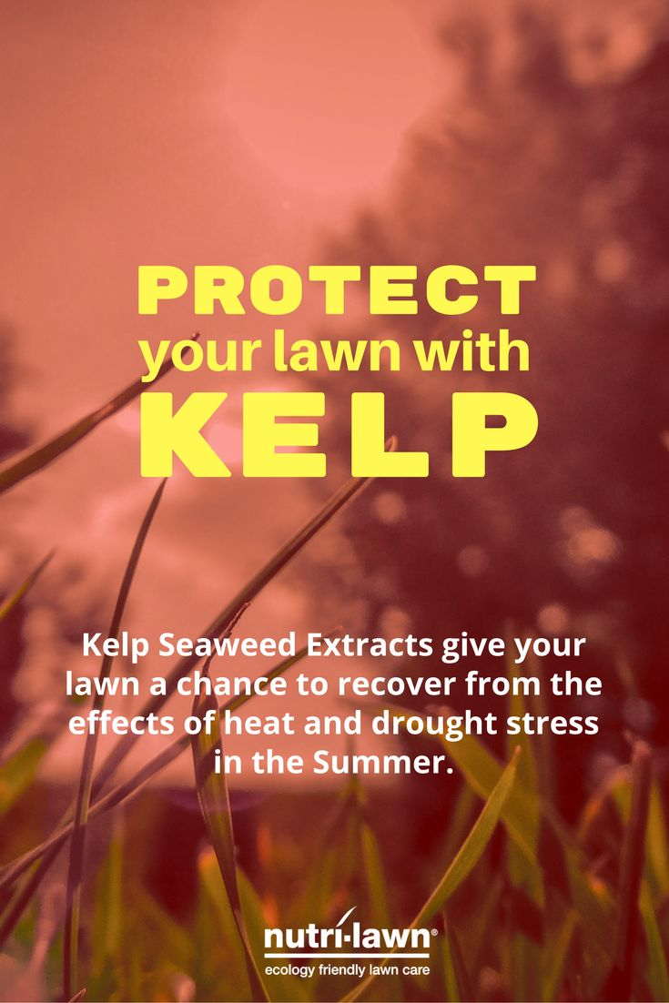 Kelp Seaweed Extracts gives your lawn a chance to recover from the effects of heat and drought stress in the Summer.  Click for more info on Kelp Seaweed Extracts.