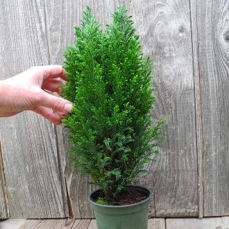Ellwoods Blue Cypress A Miniature Christmas Tree Keep It Indoors