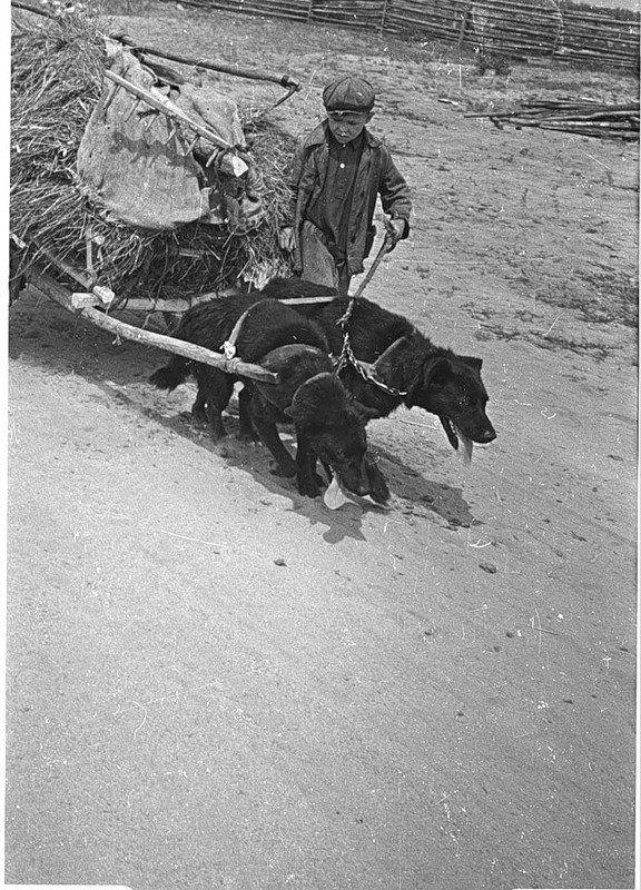 Военные фотографии Animals killed or stolen by Nazi invaders, Russian boy works on the farm