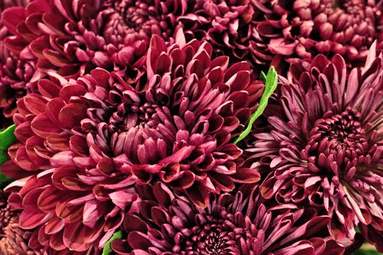 Single-Headed Bloom Incurve sheer purple Chrysanthemums at New Covent Garden Flower Market