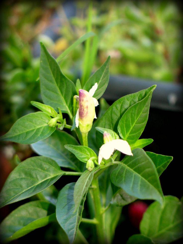 Purple Chili Plant