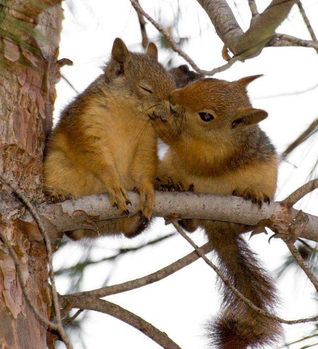 Tru luvAww, Laugh, Animal Kingdom, Funny, Things, Squirrels Kisses,  Sciurus Niger, Adorable Animal,  Eastern Foxes Squirrels