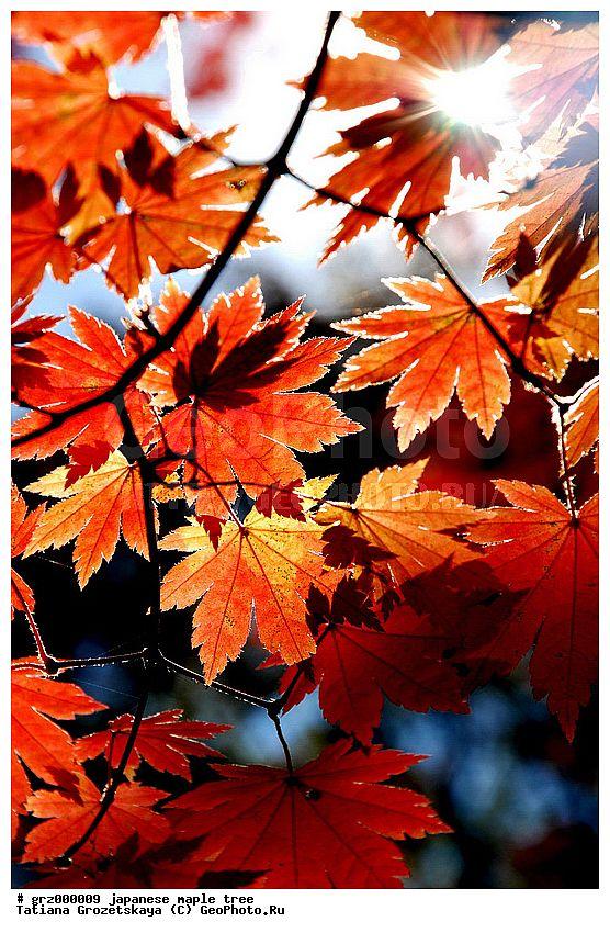 Осенние кленовые листья, осенняя раскраска кленов, листья японского клена, клен ложнозибольдов, Приморский край России