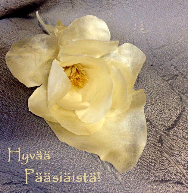 Rose of Parchment. Pergamenttiruusut puhkeavat kukkimaan. Ruusut tulossa myyntiin kevään kuluessa.