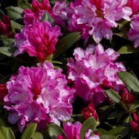 Praktrododendron 'Fantastica'
