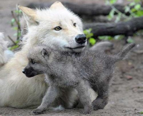 Wolf with pup headrest