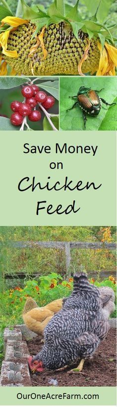 Save money on chicken feed, reduce dependence on industrial monocultures, make your chickens happier and their eggs healthier. Give them access to good habitat, let help in the compost, feed them from the vegetable garden, grow fodder, and raise grubs are