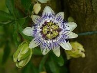 Slyngplanter - Climbers Pasiflora