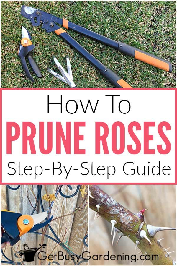 How To Prune Roses 4 Simple Steps To Trim Like A Pro How To Trim Roses When To Prune Roses Trim Rose Bushes