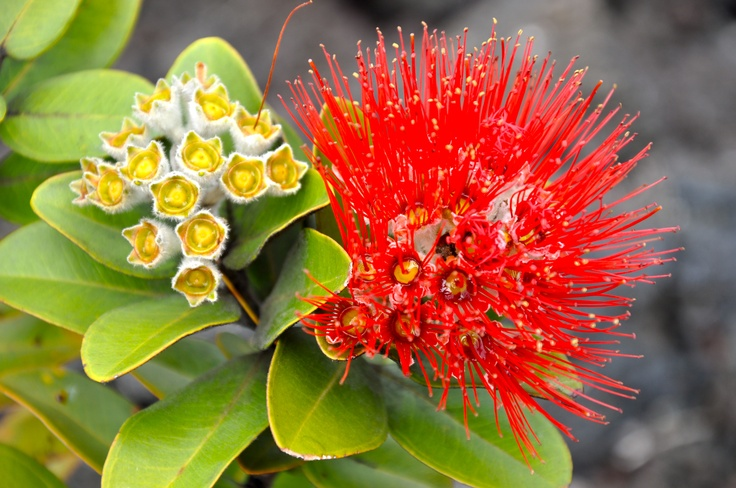 Looking For Alaska Flower: Ohia Lehua Found Growing On The Volcano Floor, Near The