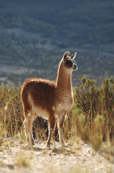 Salta: Paisajes y Fotografías del norte argentino . Habitante de la puna, la llama