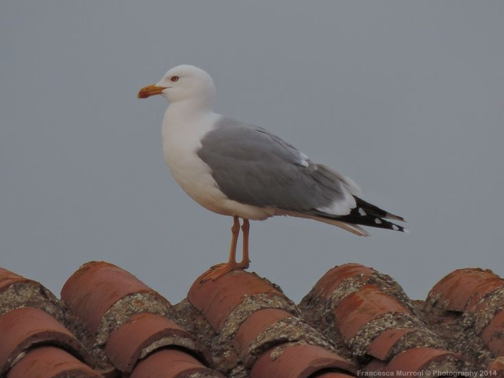 A seagull on the roof by Francesca Murroni Ph on 500px