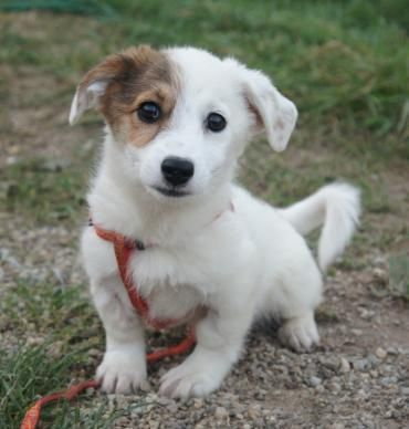 Hund Welpe, k.A. (Mischling, Hündin, 3 Monate) Rumänien