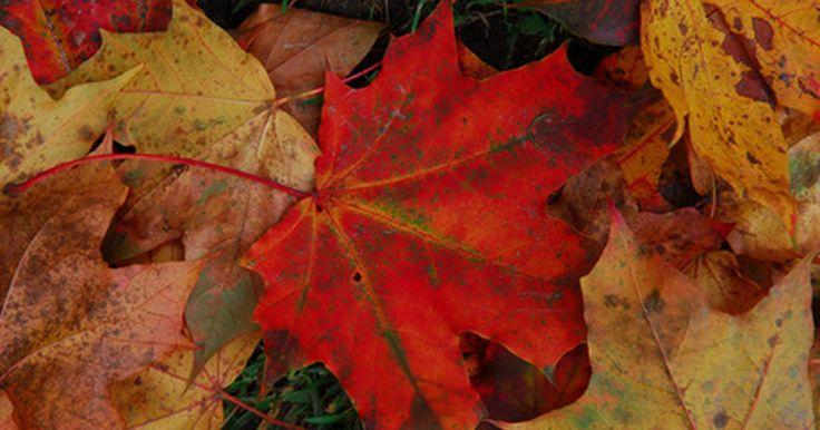 ¿Por qué la hoja de arce es el símbolo canadiense?. El árbol de arce es importante para la economía y medio ambiente canadiense, como también es una parte hermosa e icónica del paisaje canadiense. Trece especies de arce son autóctonas de América del Norte y 10 de ellas se encuentran en Canadá. A lo largo de la historia, la hoja de arce ha ganado importancia como un símbolo canadiense, hasta el ...
