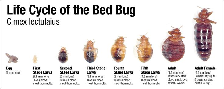 Bed bugs are making a come back today and are found in bedrooms all over the world. They invade hotels, dorm rooms, apartments and s...