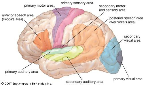 Wernicke area contains motor neurons involved in the comprehension of speech. This area was first described in 1874 by German neurologist Carl Wernicke. The Wernicke area is located in the posterior third of the upper temporal convolution of the left hemisphere of the brain. Thus, it lies close to the auditory cortex. This area appears to be uniquely important for the comprehension of speech sounds and is considered the language comprehension centre.