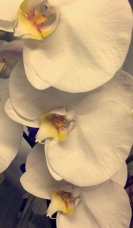 Phalanopsis orkide hvit