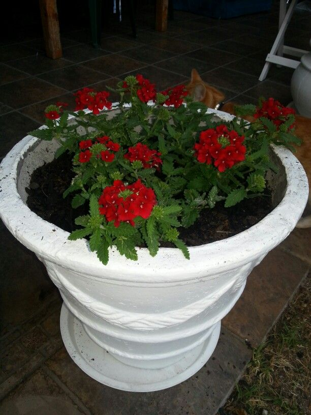 Red blossoms in a white pot