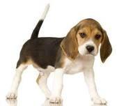 beagle pup: Beagle Puppy, Animals, Cat, Dogs, Sweet, Beagle Puppies, Pets, Beagles, Beagle Dog