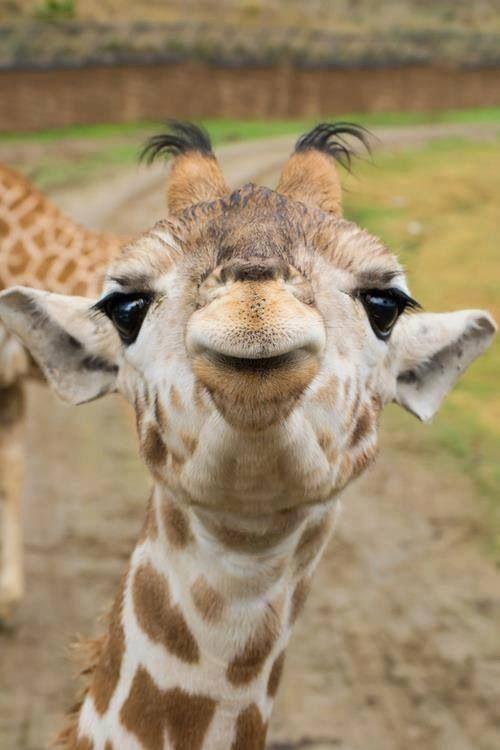 Baby giraffe kisses <3