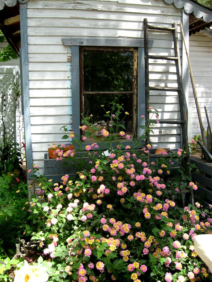 """I like the way this Lantana grows behind our old """"play house,"""" turned Garden Shed."""
