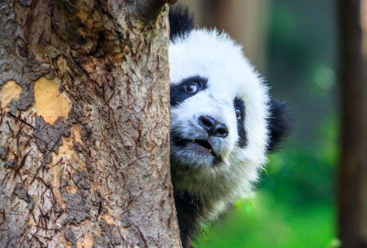 Chengdú, donde viven los pandas | El Viajero | EL PAÍS