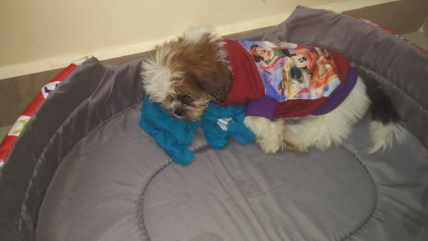 What Is The Price Of A Shih Tzu Puppy In India Quora Shih Tzu