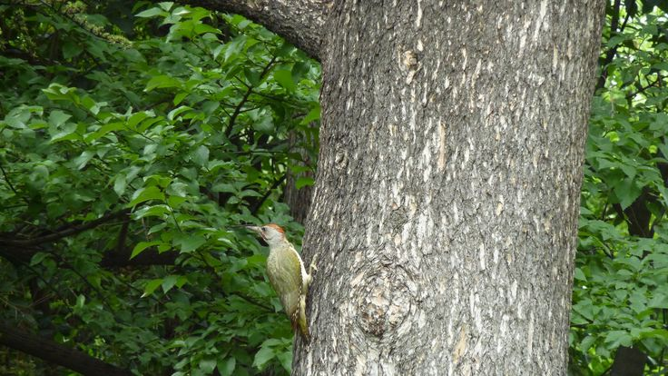 The Woodpecker Song