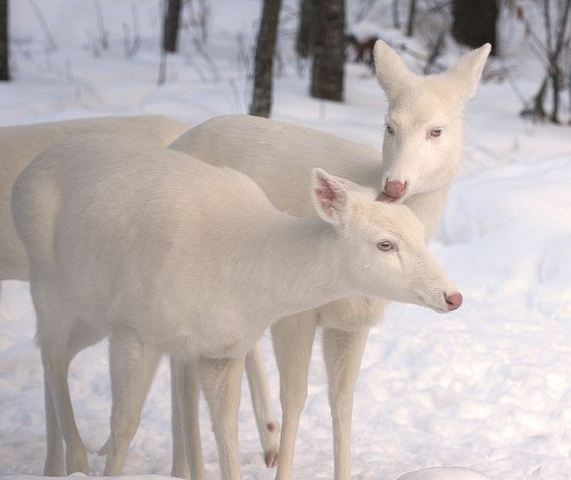 Beautiful Albino Whitetail Deer...absolutely beautiful animals. Why would anyone want to kill these magnificent deer?