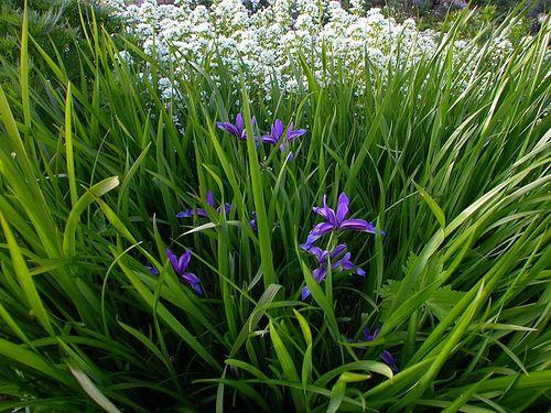 [Iridaceae] Iris graminea L. by jardin.lautaret, via Flickr