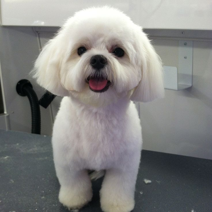 Teddy Maltipoo After 3 Jpg 800 215 800 Dog Grooming Styles Dog Haircuts