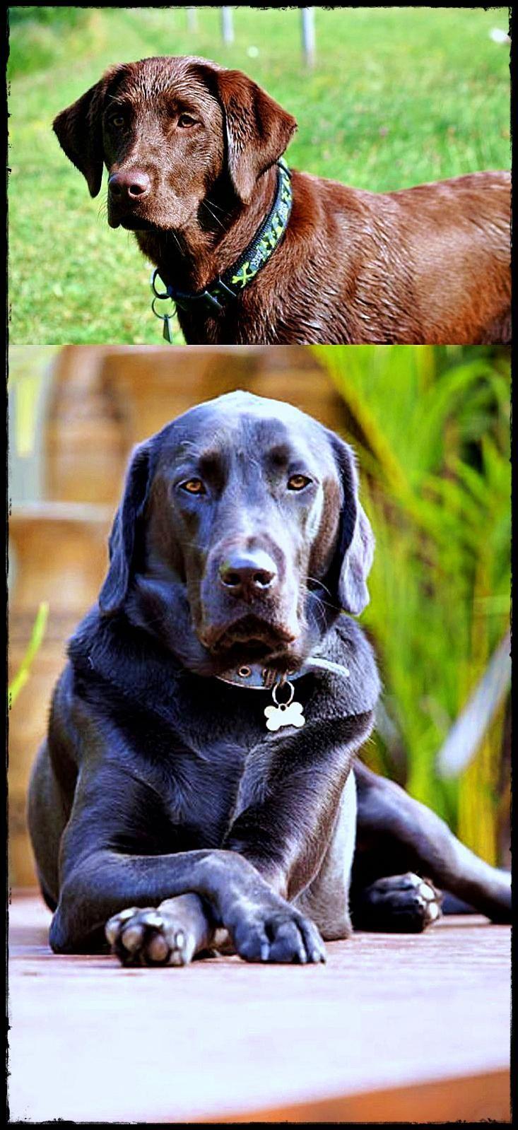 Labrador As A Pet You Need A Labradorhairloss Labradorltd Labradorfullygrown Tier Fotos Hunde Tiere