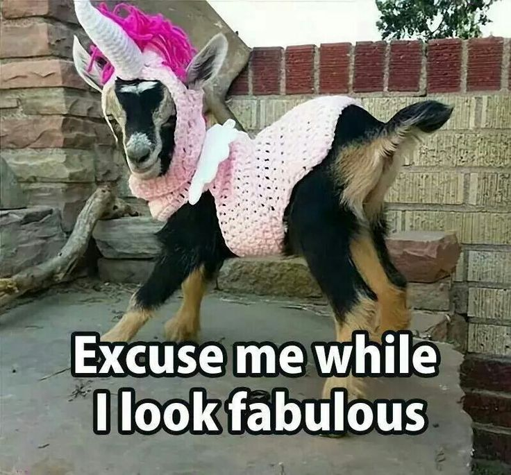 6a2576e829a64f1613a965599a05b556 funny animal pics funny animals 162 best all things goats images on pinterest animales, baby