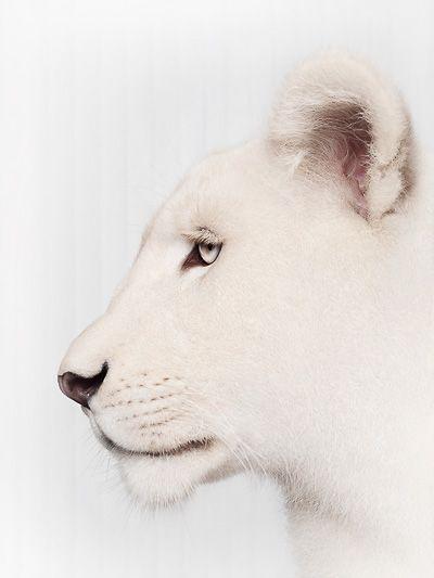 © Jean-Pierre Collin Animaux sauvages Photo de lionne blanche - 13 mois et demi